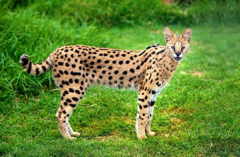 An alert serval cat fixes its eyes and ears on a central point. Serval cat sounds