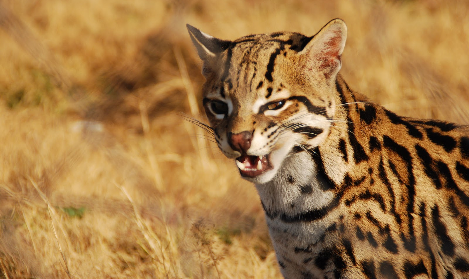 Looking for some of the best Serval cat videos on YouTube? How about some information about the Savannah? If so, check these 5 out!